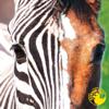 Zebra Horse - Rubber Duc