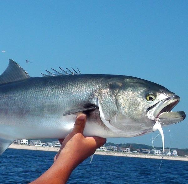 Fish Of Long Island Sound