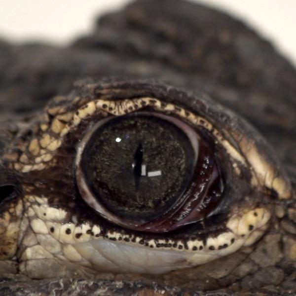 Alligators - Single