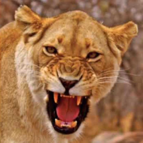 STL Roar