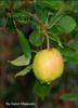 Aaron Majewski - Isaac Newton's Apple ilustración