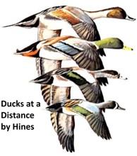 Ducks At A Distance