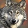 Wolf**
