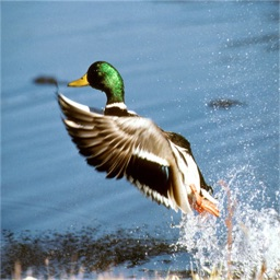 Duck Hunting Calls and Tips