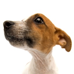 Jack Russell Terriers - Small Dog Series