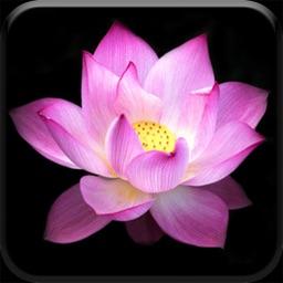 Lotus Pond 3