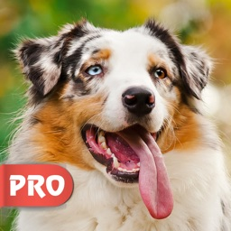 Aussie Wallpapers - Cute Australian Shepherds