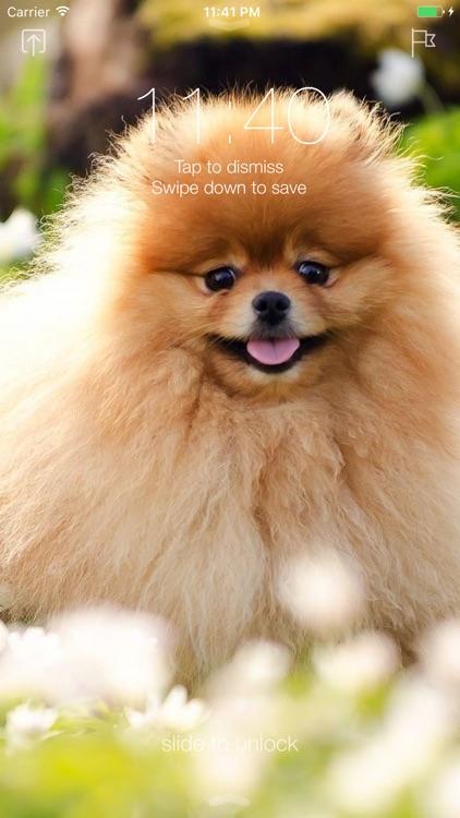 Pomeranian Dog Wallpapers Pro