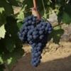 Triple Oak Vineyard