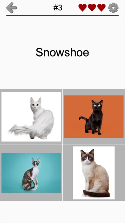 Cats Quiz - Guess Photos of All Popular Cat Breeds