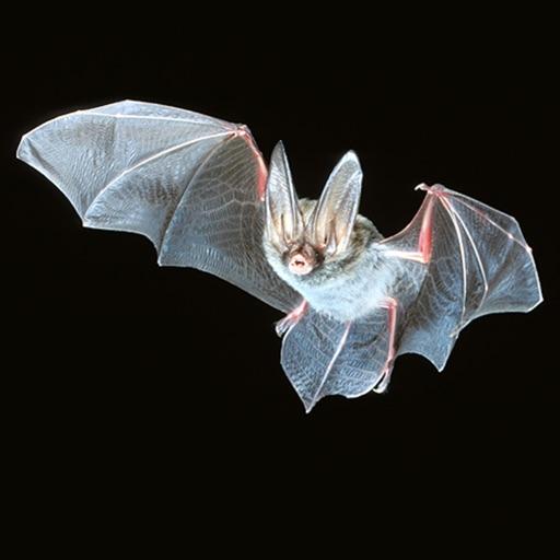Georgia Bats in Bridges