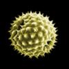 Pollen-News