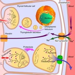 Endocrine System Medical Terms
