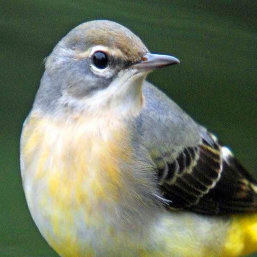 Big Year Birding GB