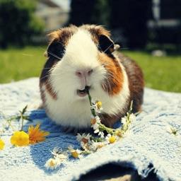 Guinea Pig Everything