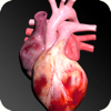 Circulatory System 3D Anatomy