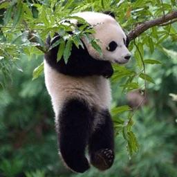 Funny Lazy Panda Stickers