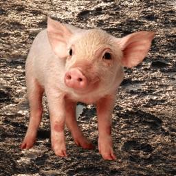 Oink - Pig Sounds