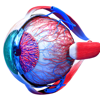 Eye Anatomy 3D - USaMau03