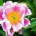 Armitage's Great Garden Plants