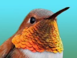 38 High Quality Retina Hummingbird Stickers for iMessage