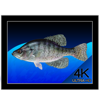 Aquarium 4K - Live Wallpaper - Mach Software Design