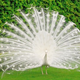 Peacock Wallz - Most Beautiful Peacock Pictures