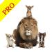 55.动物叫声音效专业版 - 认识狮子大自然界
