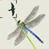 Dragonflies & Damselflies of Britain & Ireland