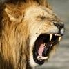 野虎和狮子狩猎模拟器