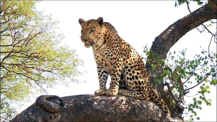 Video Touch - Wild Animals screenshot-3