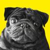 download Funny Pug