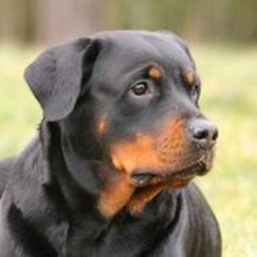 Rottweiler Sounds & Dog Sounds