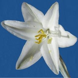 Anza-Borrego Wildflower Guide