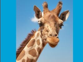 Lotsa Giraffe Stickers