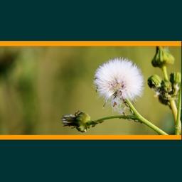Weeds of Australian Cotton