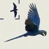 Pássaros do Brasil