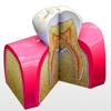 Tooth Anatomy - USaMau03
