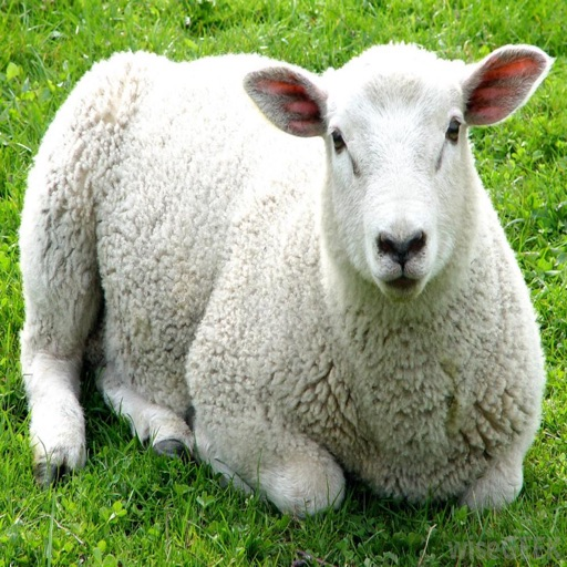 Sheep Sounds - High Quality Sounds to Rest To