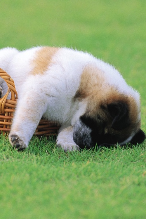 Puppy Wallpapers & Backgrounds HD for iPhone