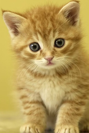 Baby Cats Kittens Wallpapers HD For IPhone On The App Store