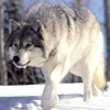 Wolf Wallpapers - Best Wolf Wallpapers Collection