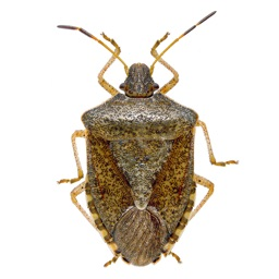 Stink Bug Scout
