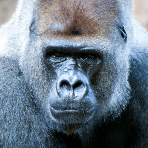 Gorilla Sounds