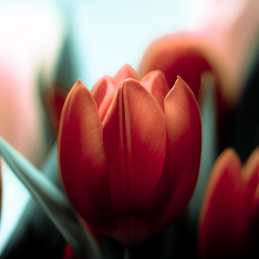 Tulip Wallpapers HD: Quotes Backgrounds with Art Pictures icon