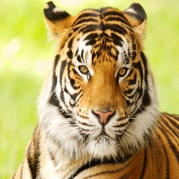 Tiger Sounds and Ringtones - High Quality Effects For Your Device
