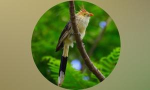 Cuckoos Info+