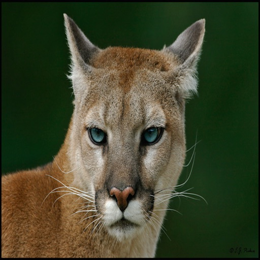 Cougar - Wild Animal Sounds, Ringtones and Alarms