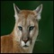 The cougar (Puma concolor), also commonly known as the mountain lion, puma, or catamount, is a large felid of the subfamily Felinae native to the Americas