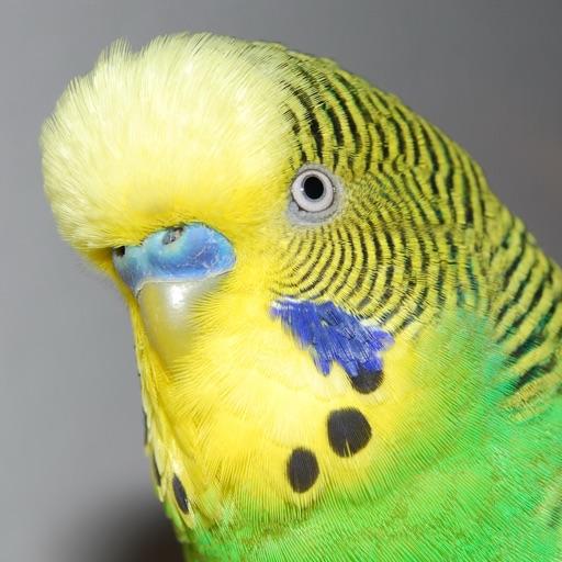 Budgie Bird Sound Effects - High Quality Bird Calls of a Parakeet